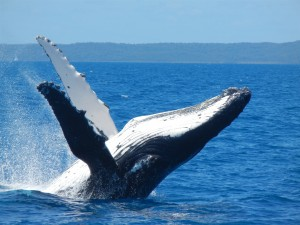 hervey-bay-whale-watching